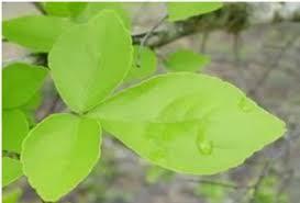belpatra bilva leaves