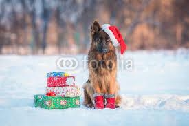 german shepherd dog with hat