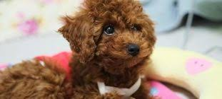 toy poodle rehoming and adoption adopt