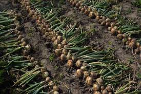 how to grow and care for onions