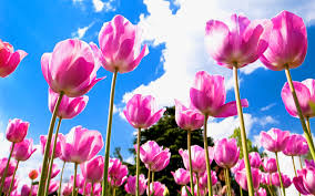 tulip flowers wallpaper 6981065