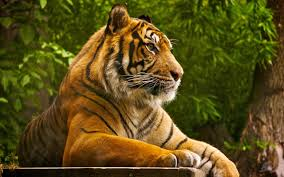 76 Tiger Hd Wallpapers On Wallpaperplay