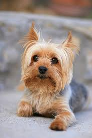 15 cute miniature dog breeds best toy