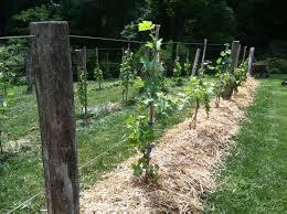 Grape Fence Idea For The Old Fence Line Grape Vine Trellis Grape Growing Trellis Grape Trellis