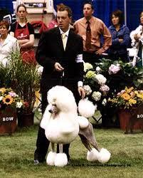 carrington standard poodles
