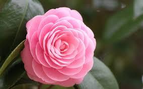 beautiful rose hd 51 wallpapers free