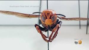Experts: Invasive 'Murder Hornet' Poses ...