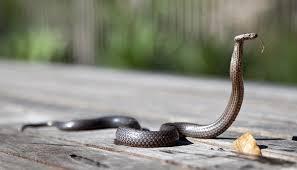 spiritual meaning of snake crossing