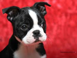 boston terrier dogs free pictures on greepx