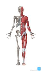 musculoskeletal system anatomy and
