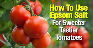 tomato fertilizer 5 of the best