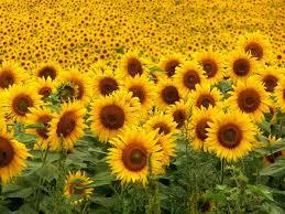 manfaat menanam bunga matahari untuk keseimbangan alam dengan