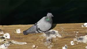 how to easily get rid of pigeons from