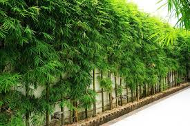 What Bamboo Is Best For Privacy Screens Bamboo Plants Hq