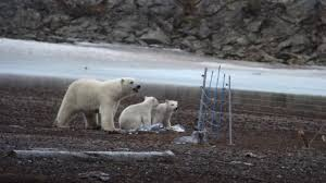 Polar Bear Family Respects Fence Youtube