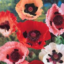 spring hill nurseries oriental poppy
