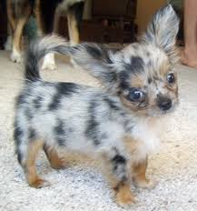 teacup long haired chihuahua puppies
