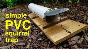 humane pvc squirrel trap
