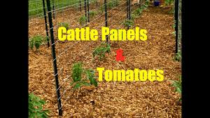 Cattle Panels Tomatoes Youtube