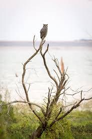 Great Horned Owl bird print by Byron Griffin. Waco Texas | Etsy