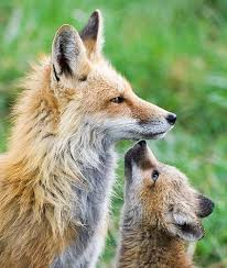 the fox family cutest paw