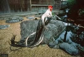 نوع نادر من الدجاج يتمتع بذيل غريب لن تصدق طوله رائج