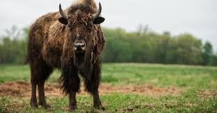 bison meat nutrition benefits and