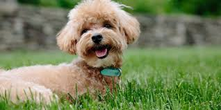 How Old Your Puppy Should Be When Introduced To The Electric Dog Fence