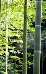 wallpaper 1600x2560 px bamboo