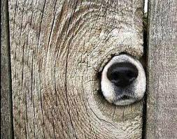 Dog Nose Through Hole In Wood Fence Justpost Virtually Entertaining