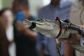 Alligator In Humboldt Park Lagoon Evading Capture For Third Day As Park Crews Put Up Fences Chicago Tribune