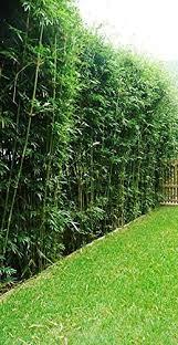 Amazon Com Bambusa Green Hedge Bamboo Non Invasive Clumping Bamboo T Garden Outdoor