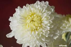 budidaya bunga aster di pekarangan dengan mudah