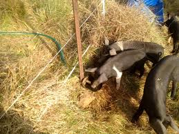 Training Piglets To Electric Fencing Pig Fence Animals Pets Fence