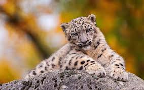 snow leopard wallpaper 2560x1600 13733
