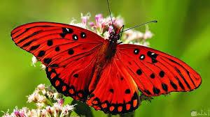 صور اجمل الفراشات فراشات ملونة تحفة صباحيات