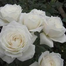 Wendy Rose at Wairere Nursery - Buy Online | Rose, Flowers, Planting flowers