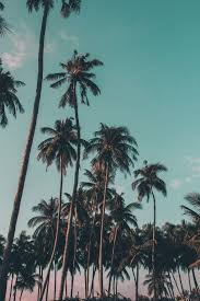 coconut trees under clear sky