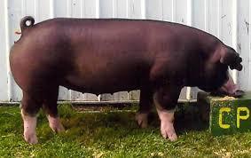 2008 NBS Poland Entries | Pig breeds, Animals beautiful, Pet birds