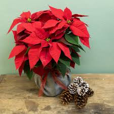 poinsettia gift wrapped in burlap