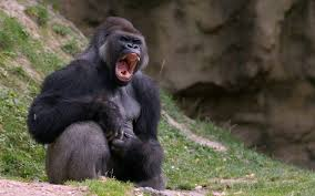 monkeys gorilla roar s monkey