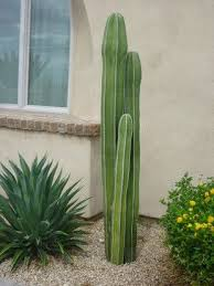 Mexican Fence Post Contemporary Landscape Tall Cactus Landscape Projects Foliage Plants