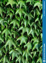 Hedge Boston Ivy Wild Grapes On A Concrete Fence Stock Image Image Of Abstract Garden 127595251