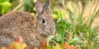 using hot pepper spray to deter rabbits