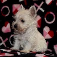 Shanna West Highland White Terrier Puppy 632353 | PuppySpot