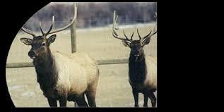 nutritional value of elk