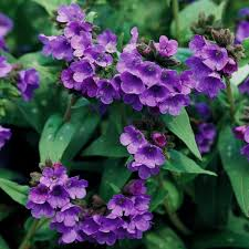 best perennials for shade better
