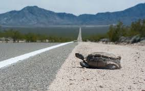 Desert Tortoises Can T Take The Heat Of Roadside Fencing Uc Davis