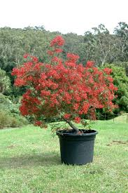 angus s top ten small australian trees