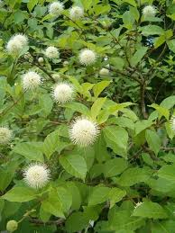 Button Bush Live Stakes Moisture Loving Shrub Grows Large Enough To Act As A Privacy Fence And Button Bush In 2020 Plant Projects Florida Native Plants Native Plants